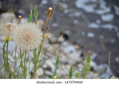 Large dandelion seed bloom in front of river and rocks.