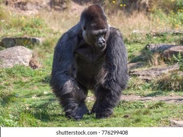 Large dangerous male gorilla runs across the grass