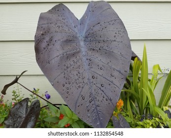 large dark leaf with water