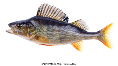 large dark perch isolated on white background