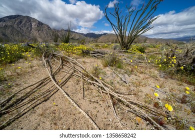 Large, dead Ocotillo plant cactus lays on the desert ground in Anza Borrego Desert State Park in California. Wildflowers surround the plant