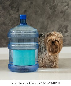 Large delivered water at home interior and yorkshire dog sit near
