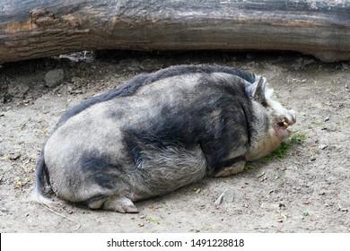 Large dirty Mangalica (also Mangalitsa or Mangalitza)  - Hungarian breed of domestic pig laying on ground