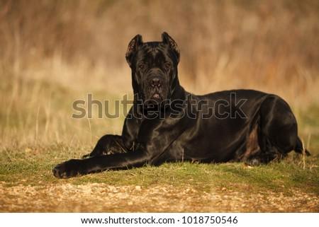 Large Dog Breed Cane Corso Black Stock Photo Edit Now 1018750546