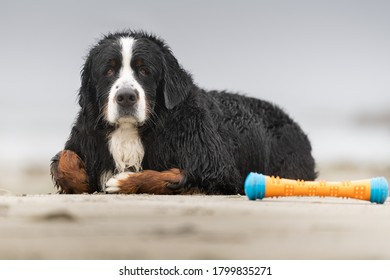 large dog lays on beach and looks sad with toy in distance