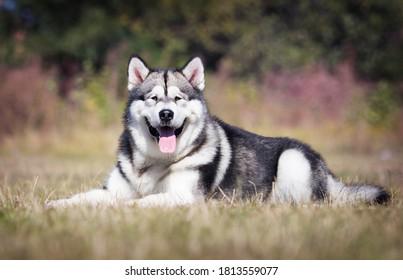 large dog malamute breed lies on the grass