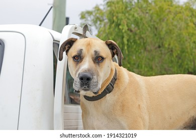 Large dog on the back of a truck