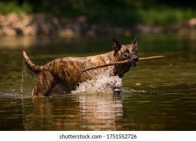 Large dog playing and splashing in the river with big stick - Dutch Shepherd - Belgian Malinois having fun in the water