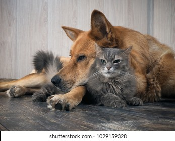 A large dog sleeps on a small dissatisfied cat. Animal relationships.