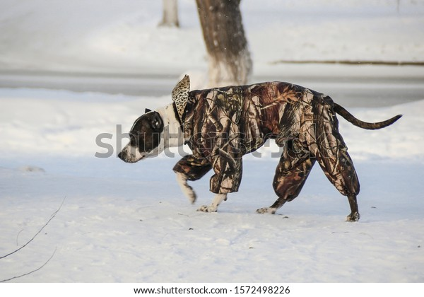 A large dog of a smooth-haired breed walks in winter in overalls