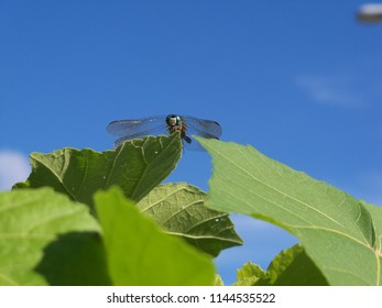 Large dragonfly on green leaves against a vivid blue sky