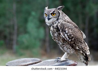 Large eagle owl with big round yellow eyes