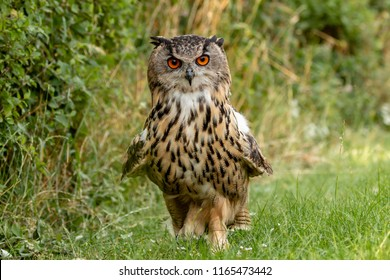 A large Eagle Owl running on the ground across green grass