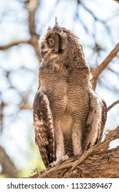 A large Eagle-owl sitting in a tree, looking sideways with almost sleepy eyes.