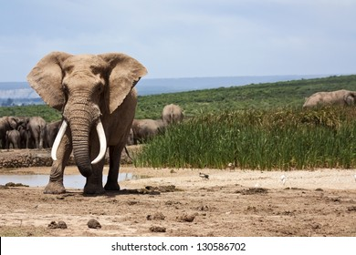 A large elephant bull in must standing at the waterhole