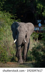 A large Elephant bull seen in front of a safari lodge in South Africa