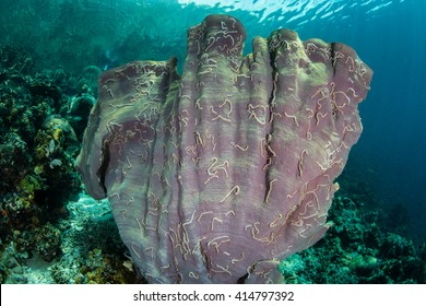 A large Elephant ear sponge is covered by Synaptula sea cucumbers in Raja Ampat, Indonesia. This region is home to high marine biodiversity and is a popular destination for divers and snorkelers.