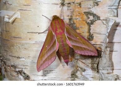 Large elephant hawk moth, deilephila elpenor on Silver birch. Cardiff, Wales, UK