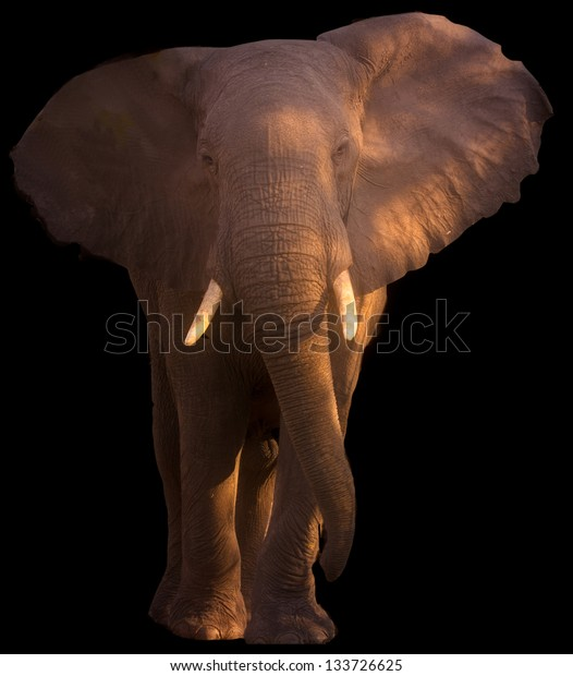Large elephant posing in twilght black background