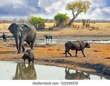 A large elephant stands behind buffalo who are at a waterhole with an acacia tree and cloudy sky in the background, in Hwange National Park, Zimbabwe, Southern Africa