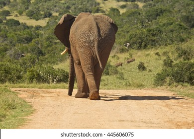 Large elephant walking away from the camera down a dusty road