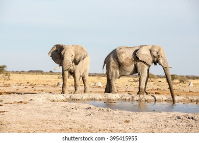 Large elephants at Nxai pan National park in Botswana. The one is busy drinking while the other one is walking around the dam.