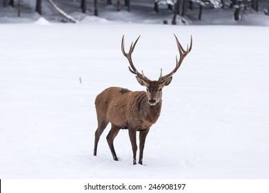 Large elk in a winter scene