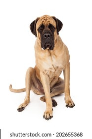 A large English Mastiff dog sitting against a white backdrop with a serious looking expression on his face