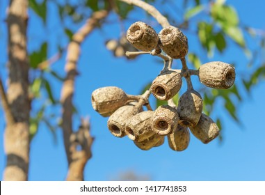 Large Eucalyptus gum nuts of Corymbia ptychocarpa (phytocarpa) Australian Swamp Bloodwood