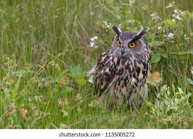 Large European Eagle Owl sitting in high grasses