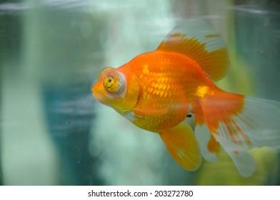 A large eyed goldfish floating in an aquarium.