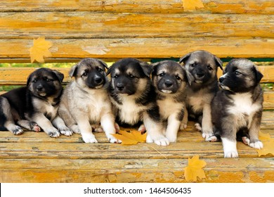 A large family of funny half-breed Husky puppies sitting on a wooden covering of yellow autumn.