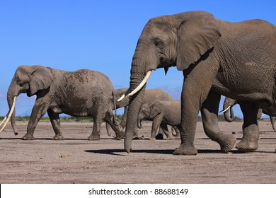 Large family group of elephants walking towards a drinking hole in Africa