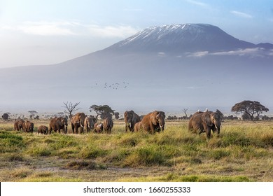 A large family herd of elephants walks in the grasslands of Ambolesil National Park, with Mount Kilimanjaro in the background.