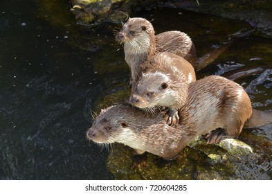 A large family of otters watching people
