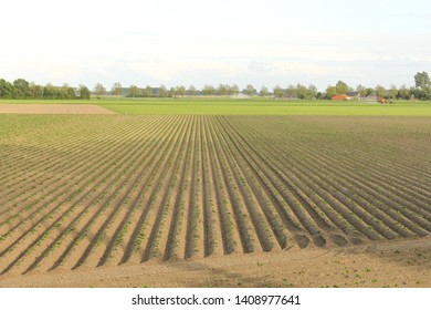 a large farmland in the dutch countryside with raised potato beds and young plants and a blue sky in the background in springtime