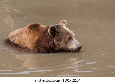 A large female brown bear in a muddy pond looking into the distance.