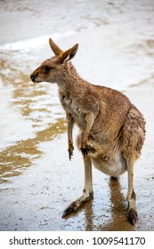 A large female kangaroo.