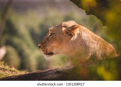 Large female lion looking into the distance