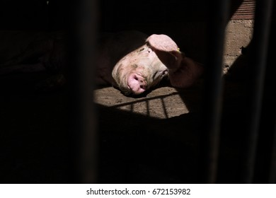 Large female pig lying solitary in a pigpen                      Shadows of cage on the floor of the barn