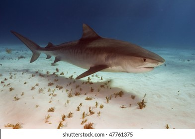 A large female tiger shark cruising over the sandy bottom of the Bahamas