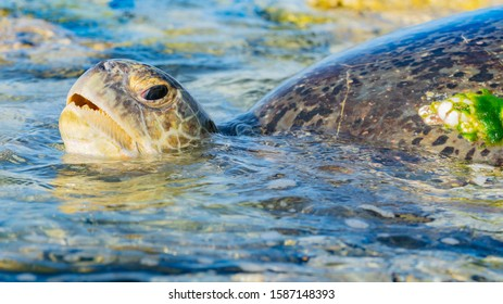 Large female turtle takes a breath while returning to sea after a nights egg laying.