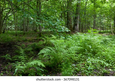 Large fern bunchs in summertime shady deciduous stand of Bialowieza Forest,Bialowieza Forest,Poland,Europe
