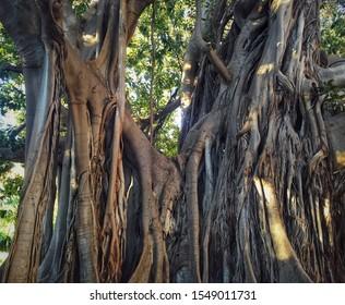 Large Ficus macrophylla tree commolny known as Moreton Bay fig in Giardino Garibaldi park Palermo, the capital of autonomous region of Sicily