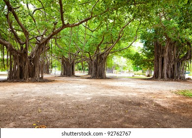 Large ficus. Park in the centre of Havana