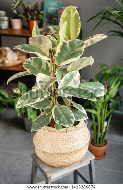 Large Ficus plants. Stylish green plant in Wicker pot on wooden vintage stand on background of floral shop. Modern room decor.