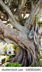 Large ficus tree on the waterfront of the city of Cadiz, spain,