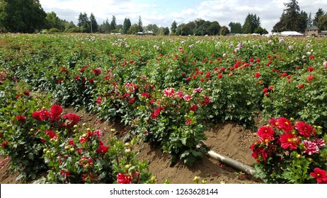 large field of beautiful colorful dahlia flowers