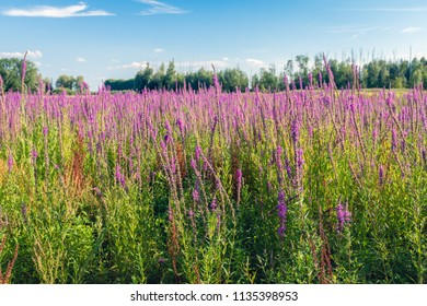 Large field with bright flowering Purple Loosestrife. Here and there also grows brown blooming sorrel. It is summertime now.