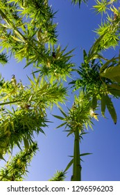 a large field full of hemp plants photographed from below